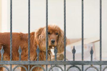 Un chien derrière un clôture ou une grille de portail