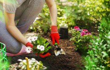 Une personne plante des fleurs dans un jardin