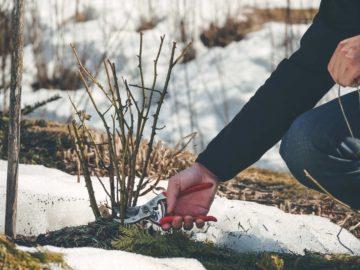 Taille des arbustes et des plantes pendant les mois d'hiver
