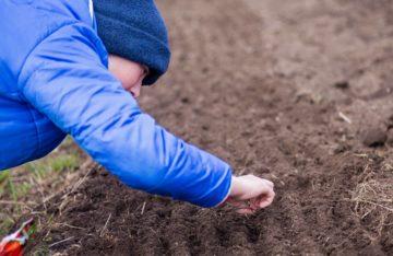 Nettoyage de la terre ou plantation de semis dans le potager à l'approche de l'hiver