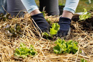 Protection hivernale d'un jardin potager avec du paillage