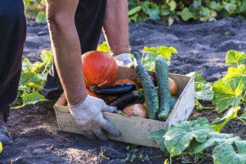 Légumes d'automne prélevés dans le potager du jardin