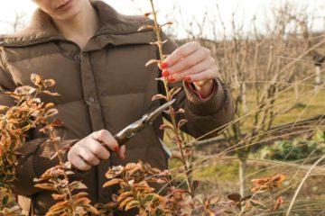 Une femme taille un arbuste dans un jardin en hiver