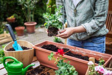 Mise en pot de nouvelles fleurs pour le jardin au printemps