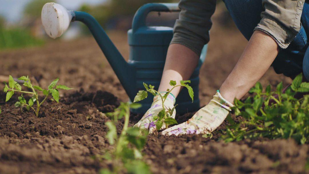 Une femme procède à des plantations dans un jardin potager au printemps