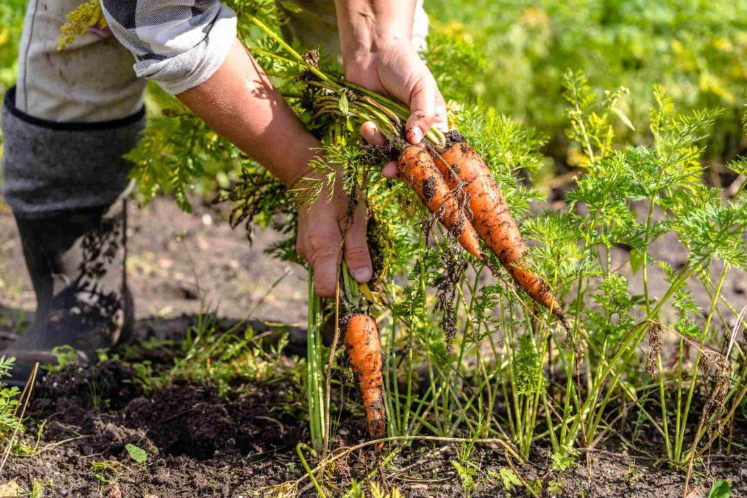 un jardinier récolte des carottes dans son jardin potager