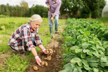 Un couple de retraités récoltent des pommes de terres dans un potager