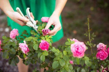 Une femme entretien un rosier dan son jardin