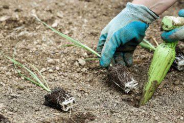 Un jardinier fait des plantations dans un jardin potager