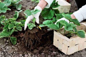 Un jardinier plante des fleurs dans un jardin