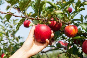 Cueillette d'une pomme rouge dans un verger ou un jardin potager