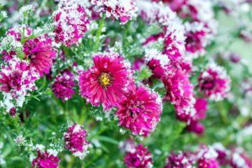 Arbuste à fleurs en plein hiver avec de la neige