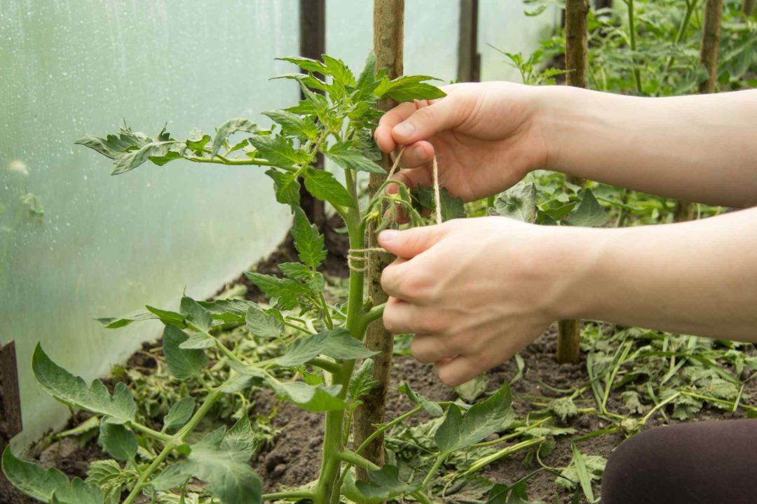 Un jardinier entretien des plants de tomates dans un potager