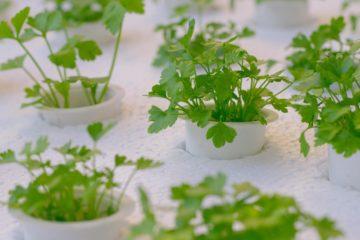 Des plantes qui poussent sans terre