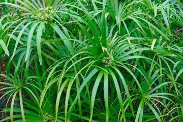 Des plantes vertes pour faire de la phytoépuration