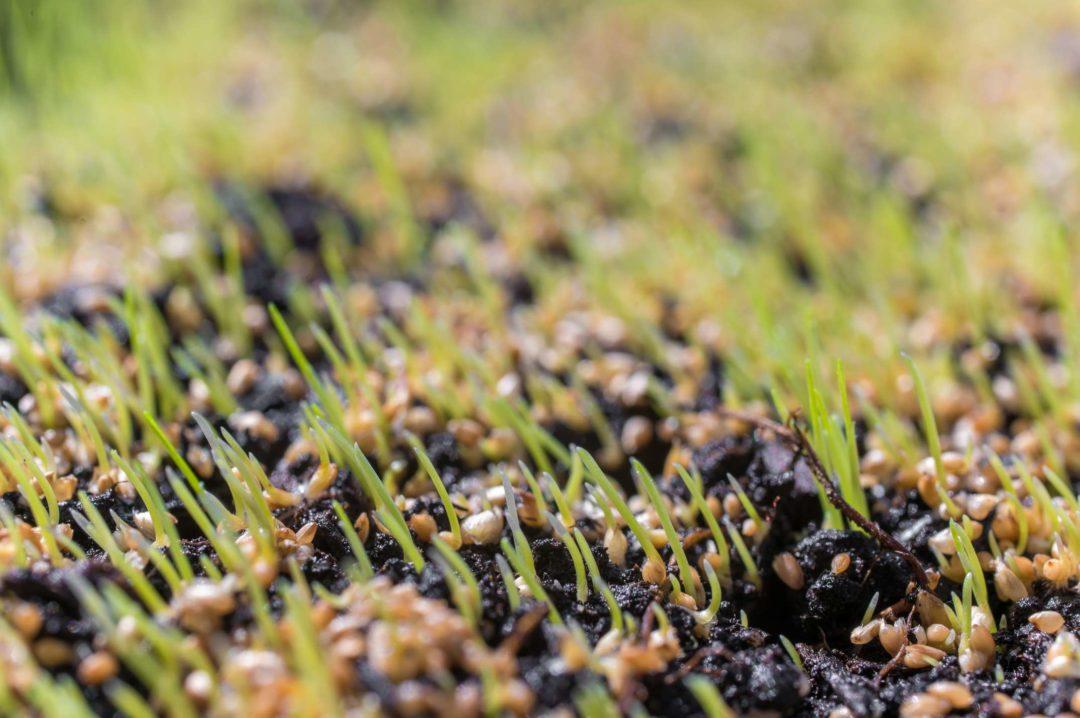 Zoom sur une pelouse en pleine croissance dans un jardin