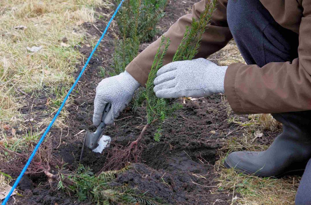 Un jardinier plante des arbustes pour créer un haie de jardin