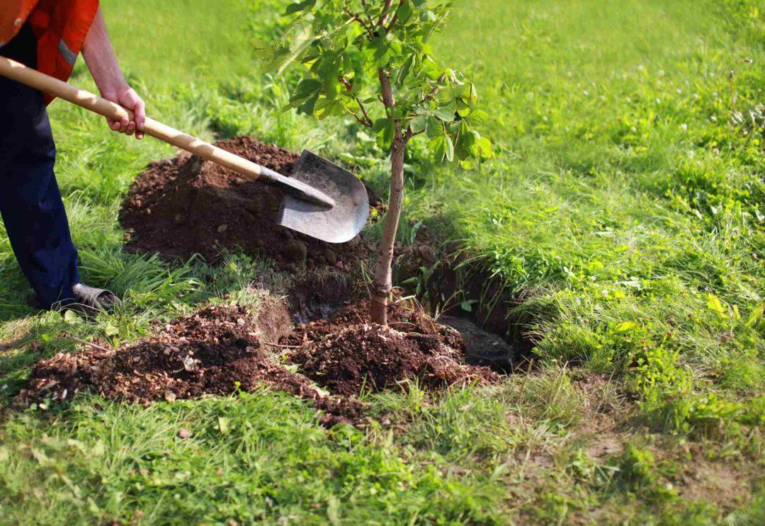 Un jardinier plante un arbre dans un jardin