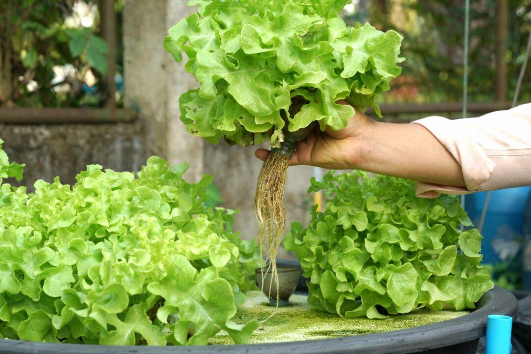 Des salades cultivées via la culture aquaponique