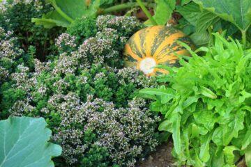 Des légumes, fruits et aromates dans un jardin potager et écoresponsable