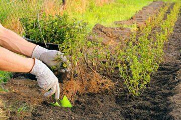 Un jardinier en train de planter des massifs de plantes dans un jardin