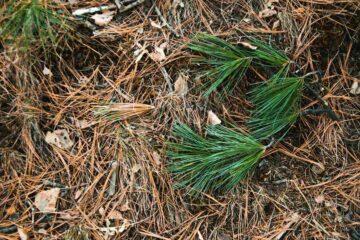 Épines de pin dans le jardin : comment les réutiliser ?
